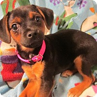Adopt A Pet :: TinkerBelle - Hagerstown, MD