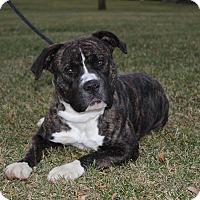 Adopt A Pet :: Vixen~FOSTER OR ADOPTER! - Shrewsbury, NJ