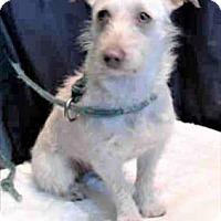 Adopt A Pet :: Pixie - Encino, CA