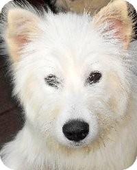 Shepherd (Unknown Type) Mix Puppy for adoption in Wakefield, Rhode Island - RARE-PICARDI SHEPHERDS