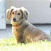 Adopt A Pet :: Chester - San Jose, CA