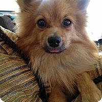 Adopt A Pet :: Timber - Los Angeles, CA