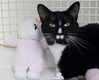 Domestic Shorthair Cat for adoption in Hampton, Virginia - Kiki