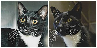 Domestic Shorthair Cat for adoption in Forked River, New Jersey - Beaker