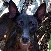 Adopt A Pet :: Roxie - Bridgeton, MO
