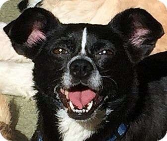 Chihuahua/Pug Mix Dog for adoption in Los Angeles, California - EMJAY (video)