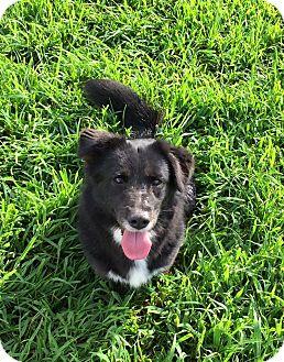 Border Collie/Corgi Mix Dog for adoption in Russellville, Kentucky - Fiona