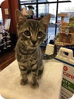 Domestic Shorthair Kitten for adoption in Turnersville, New Jersey - Lincoln