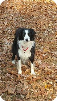 Border Collie Dog for adoption in Crossville, Tennessee - Cary