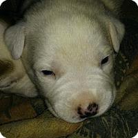Adopt A Pet :: Cream - West Palm Beach, FL