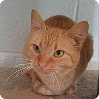 Domestic Shorthair Cat for adoption in Bryson City, North Carolina - Clementine