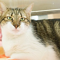 Adopt A Pet :: SPUMONI - Montclair, CA