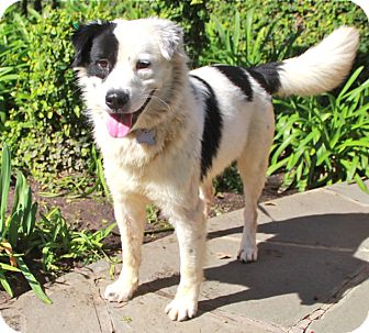 Border Collie Mix Dog for adoption in Norwalk, Connecticut - Dailey - adoption pending!!!