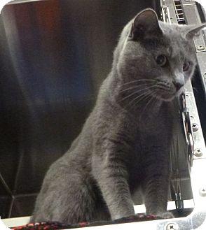 Domestic Shorthair Cat for adoption in St. Petersburg, Florida - Sabrina