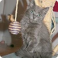 Adopt A Pet :: Luigi (cuddle kitten) - Arlington, VA