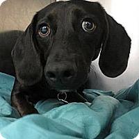 Adopt A Pet :: Sage - Camden, SC