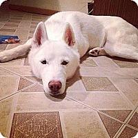 Adopt A Pet :: Ivy - Nashua, NH