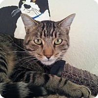Domestic Shorthair Cat for adoption in Mountain Center, California - Barnie