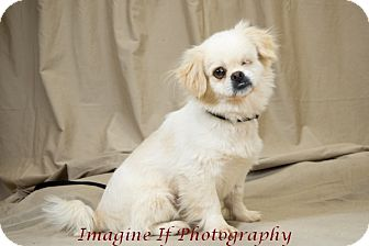 Pekingese Mix Dog for adoption in Oklahoma City, Oklahoma - Governor