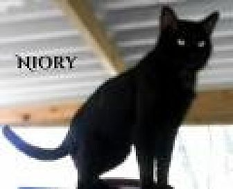 Domestic Shorthair Cat for adoption in Columbia, Tennessee - Niory