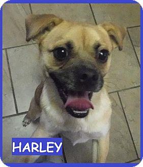 Beagle/Pug Mix Dog for adoption in Batesville, Arkansas - Harley