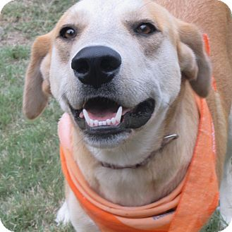 Labrador Retriever Mix Dog for adoption in Godley, Texas - Rosemary