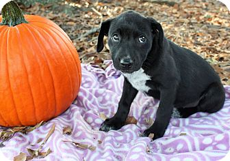 Labrador Retriever Mix Puppy for adoption in Seneca, South Carolina - Jesse $250