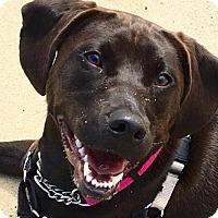 Labrador Retriever Dog for adoption in Manteo, North Carolina - Lua