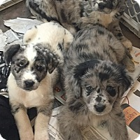 Adopt A Pet :: AUSSIE DUO - knoxville, TN