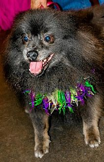 Pomeranian Dog for adoption in Dallas, Texas - Braveheart Bear