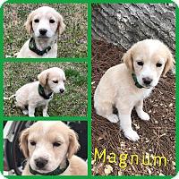 Adopt A Pet :: Magnum - Gainesville, GA