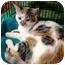Photo 1 - Domestic Shorthair Kitten for adoption in Raritan, New Jersey - Tripod