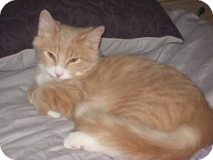 Maine Coon Kitten for adoption in bloomfield, New Jersey - Gordon