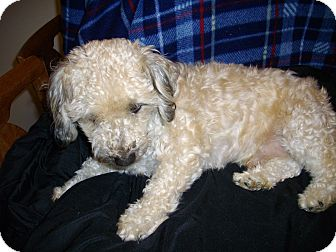 Poodle (Toy or Tea Cup)/Lhasa Apso Mix Dog for adoption in Sheridan, Oregon - Fester
