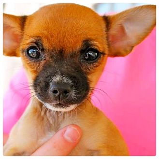 Chihuahua Puppy for adoption in Garden City, Michigan - Cinco