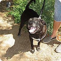 Adopt A Pet :: Harley Lab - Scottsdale, AZ