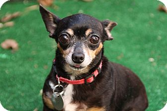 Chihuahua Dog for adoption in Yukon, Oklahoma - Baby Girl