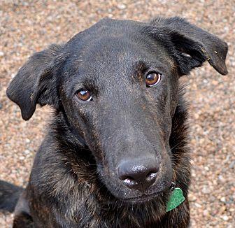 Labrador Retriever/Shepherd (Unknown Type) Mix Dog for adoption in Independence, Missouri - Hosmer