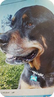 Rottweiler Dog for adoption in Yelm, Washington - Cheif