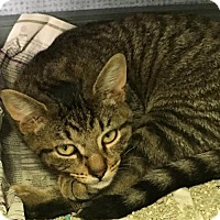 Domestic Shorthair Cat for adoption in Manteo, North Carolina - Peppercorn