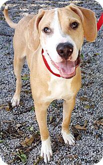 Hound (Unknown Type) Mix Dog for adoption in Key Largo, Florida - Barney