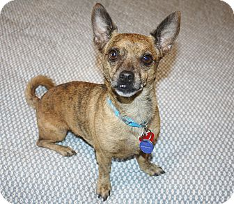Chihuahua/Dachshund Mix Dog for adoption in Yorba Linda, California - Charlie - I'm an easy dog!