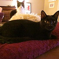 Domestic Shorthair Cat for adoption in Eagan, Minnesota - Milo