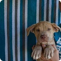 Adopt A Pet :: Captain - Oviedo, FL