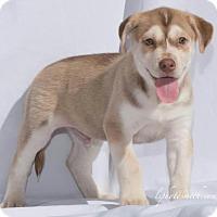 Adopt A Pet :: Pax - Royal Palm Beach, FL