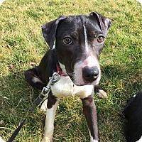Adopt A Pet :: Chickadee - Dayton, OH