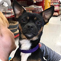Adopt A Pet :: Danny (GAPR/Fostered in TN) - Brighton, TN