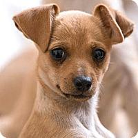 Adopt A Pet :: Sapphire - Oakland, CA