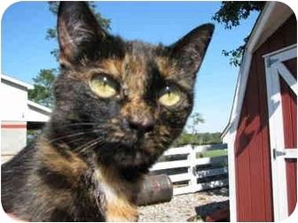 Manx Cat for adoption in Maxwelton, West Virginia - Sweetie