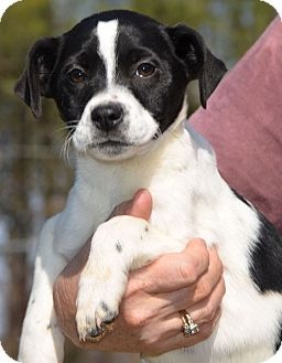 Labrador Retriever/Border Collie Mix Puppy for adoption in Washington, D.C. - Sabrina